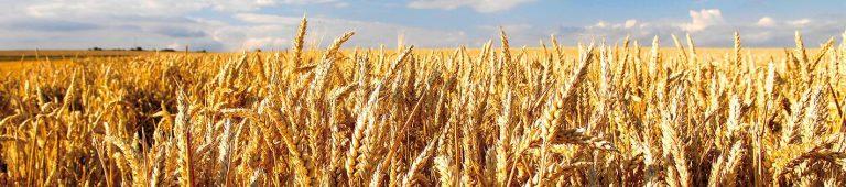 Un OGM pour moins utiliser de fongicides ?